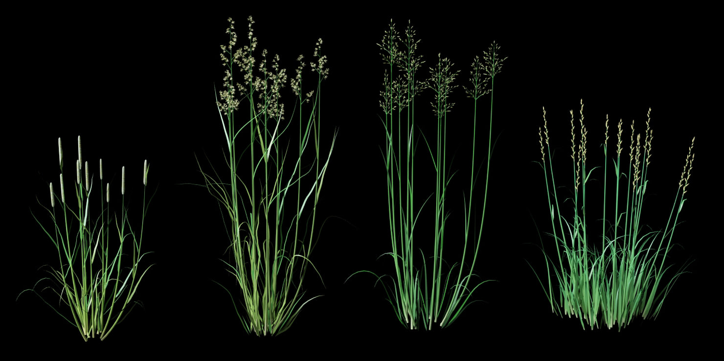 gramineae grass cereals max