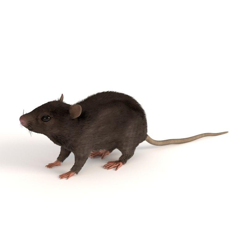 mouse mus musculus 3d 3ds