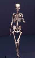 3d rigged human skeleton