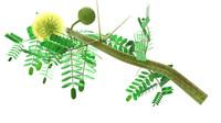 3d acacia arabica arabic