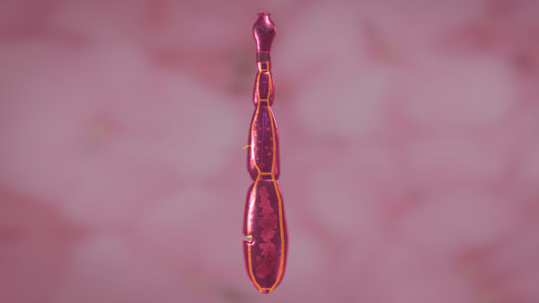 acoelomates coelom 3d model