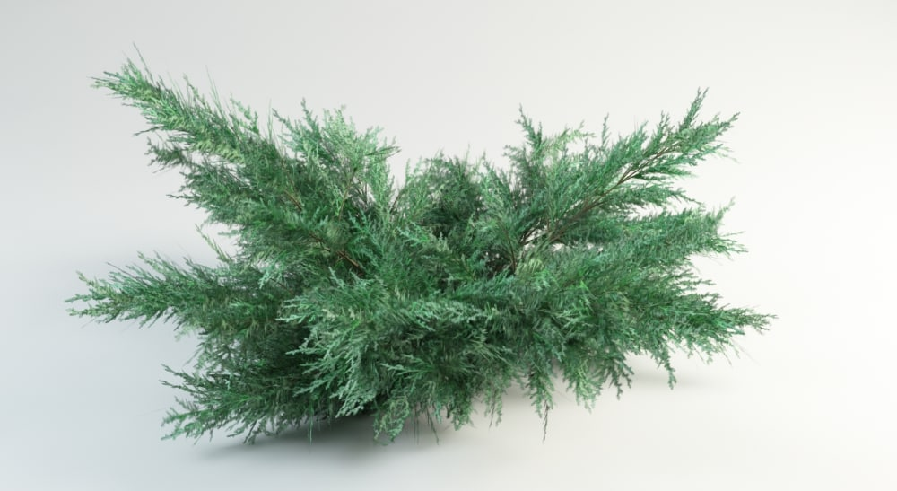juniperus grey owl max