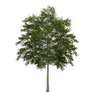 white ash fraxinus 3d model
