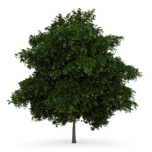 3d small leaved lime model