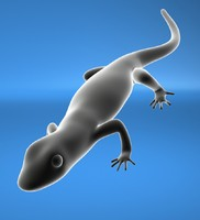 salamander obj