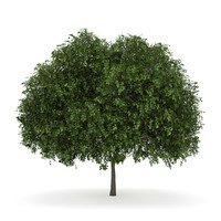 small leaved lime 3d c4d