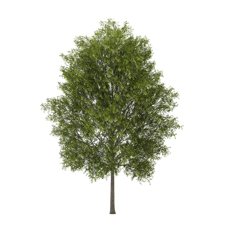 poplar populus max