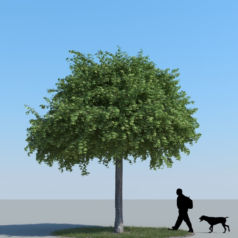realistic maple tree obj