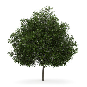 small leaved lime 3d max