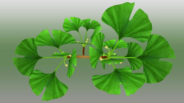 ginkgo plants 3d model