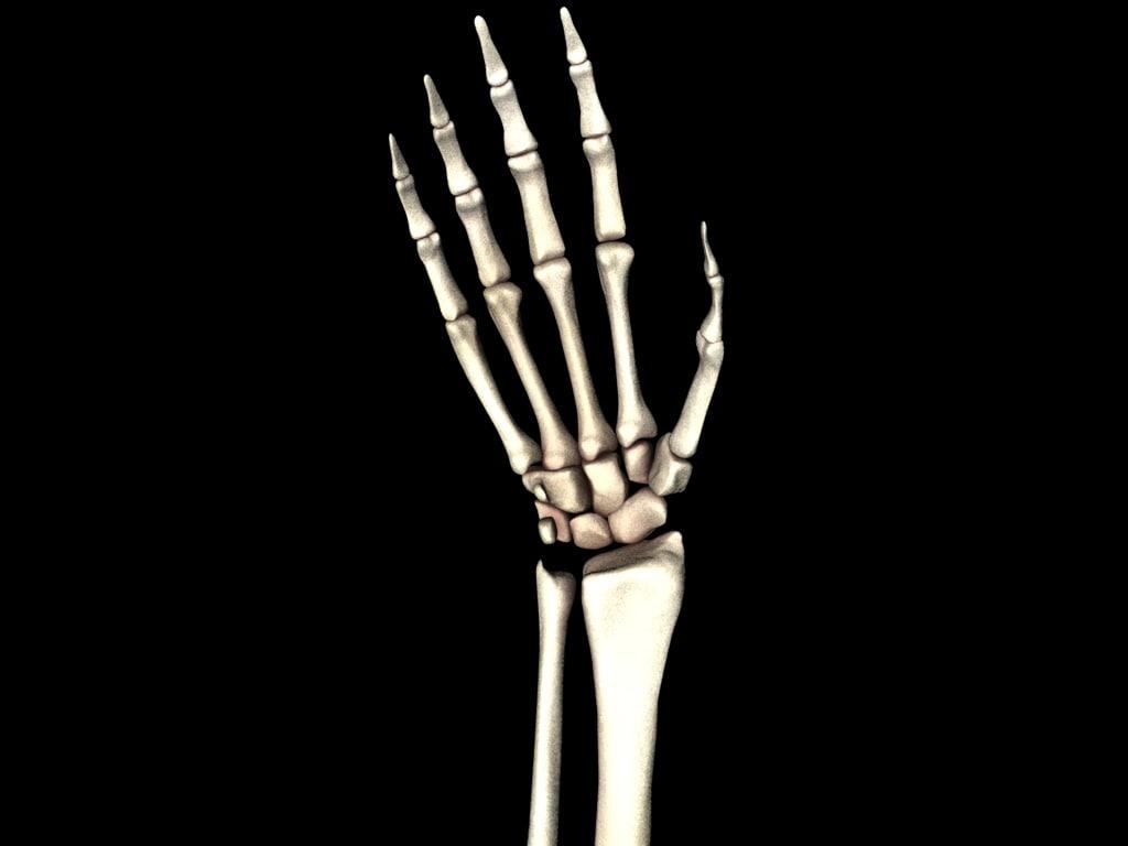 medically accurate hand bones model