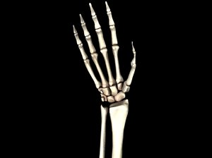 medically accurate hand bones model