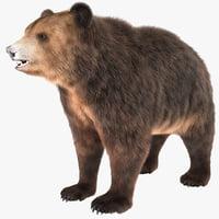 bear animal wildlife max