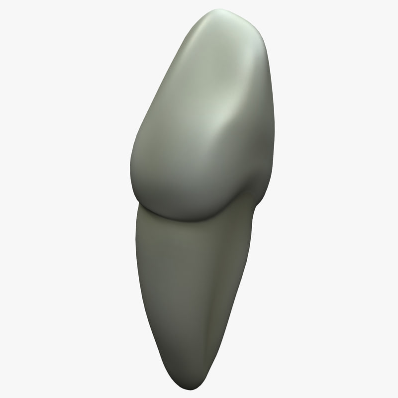 3d cuspid tooth model