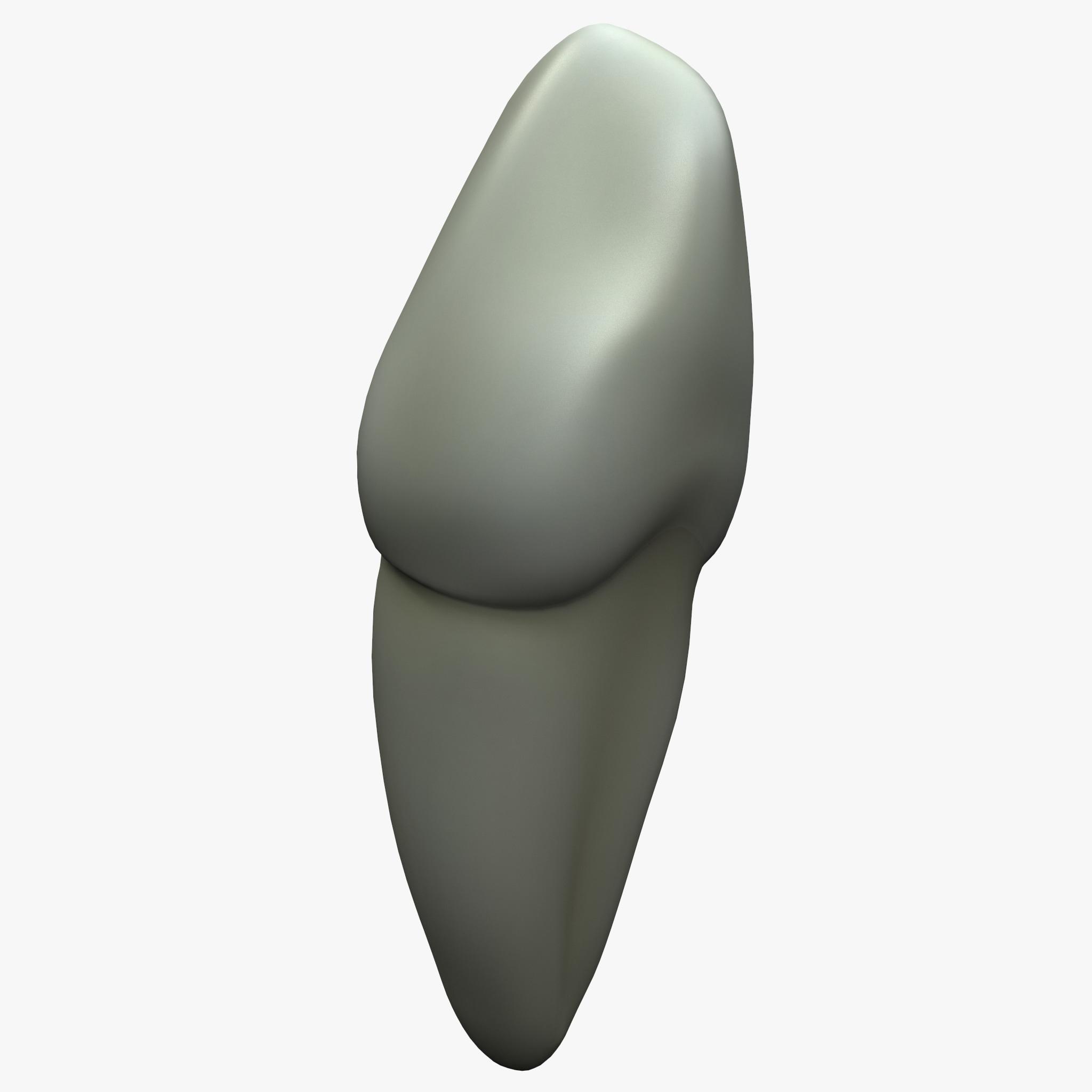 3d cuspid tooth model