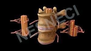 obj spinal membranes roots vertebra