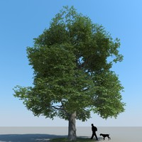 realistic maple tree 3d model