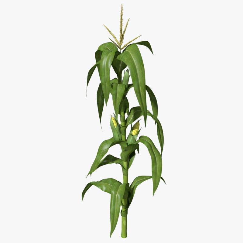 corn stalk template - corn stalk max