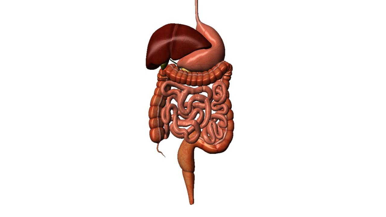 human digestive obj