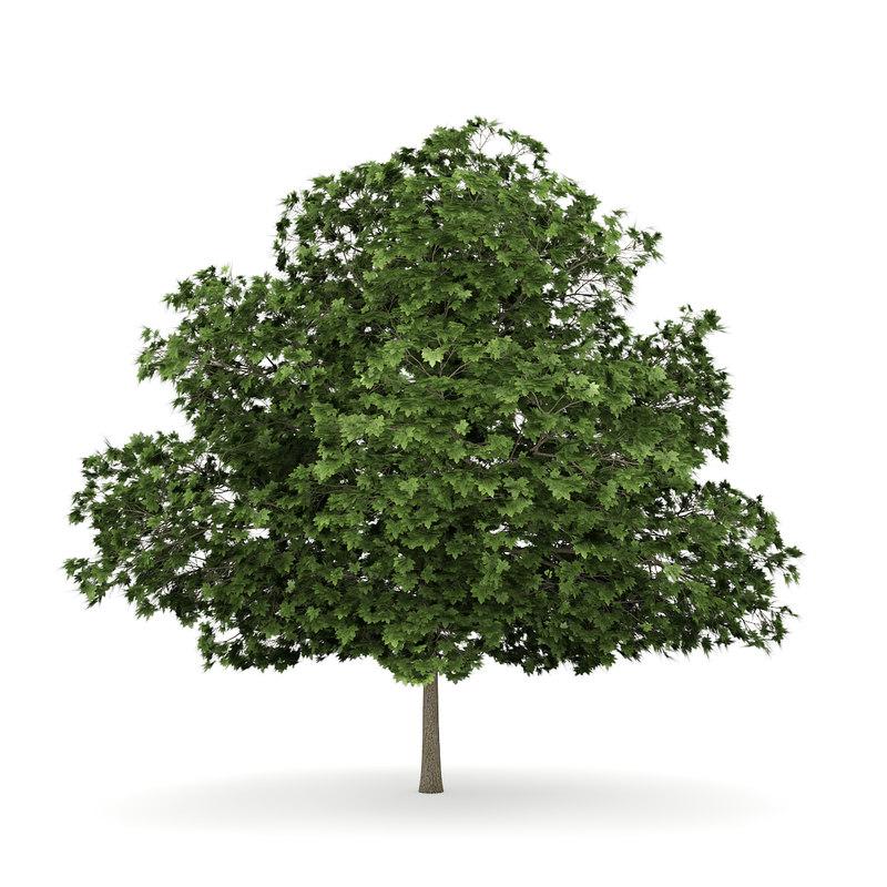 common maple acer 3d model