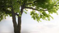 max maple tree