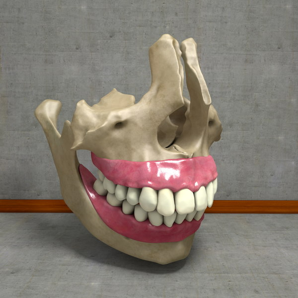 3d human jawbones teeth gums model