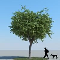 Maple Tree Type 08