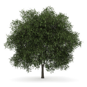 max english oak quercus
