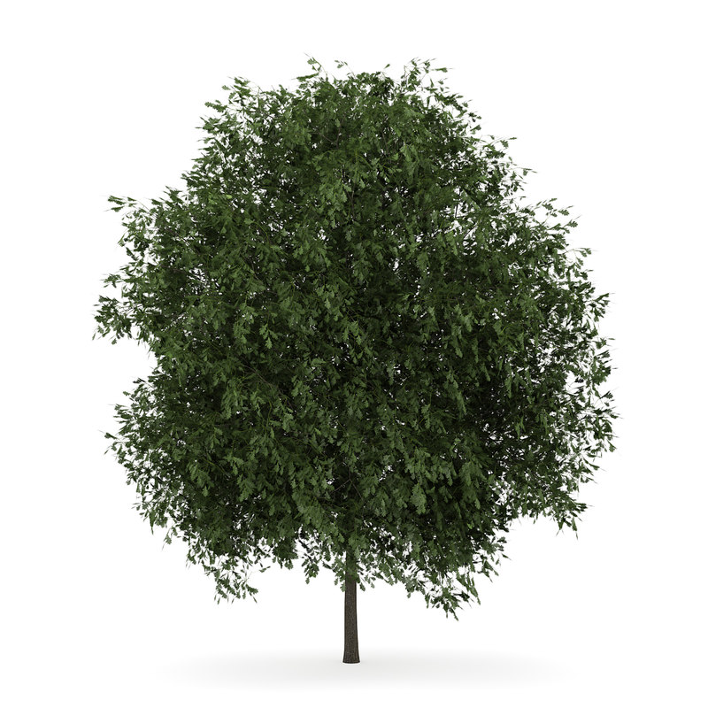 3d english oak quercus