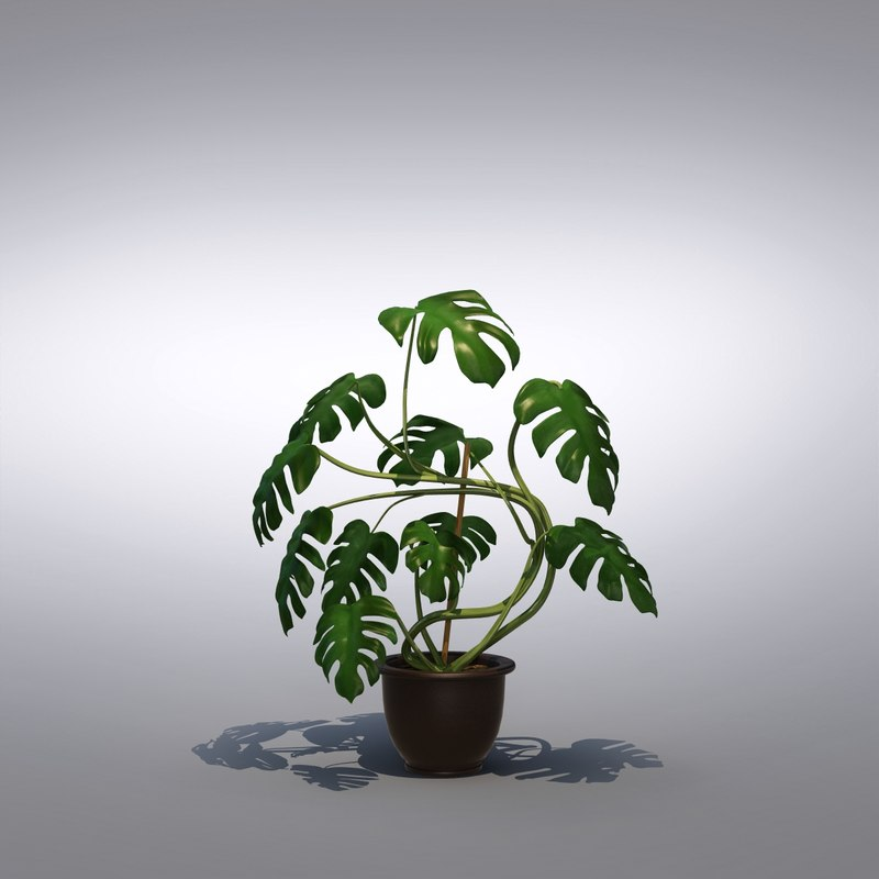 max philodendron monstera floor plant