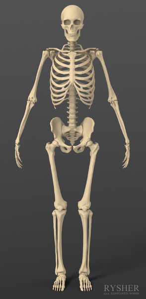 3d model human male skeleton exact