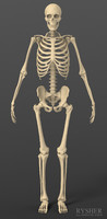 Exact realistic human male skeleton.
