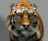 3d model tiger animation fur