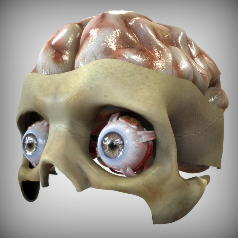3d eye brain anatomy