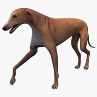 3d model australian greyhound pose 2