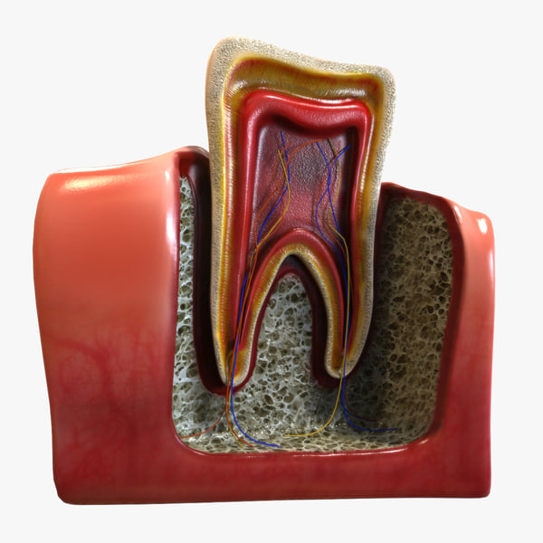 3ds teeth anatomy