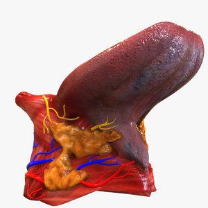 3d human tongue anatomy