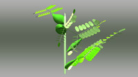 3d acacia melanoxylon model