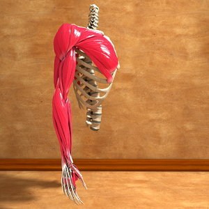 3ds max human torso arm