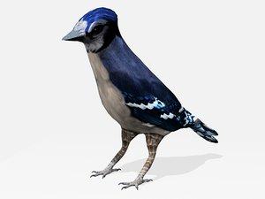 blue jay bird max