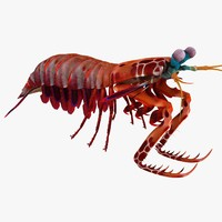 3d mantis shrimp model