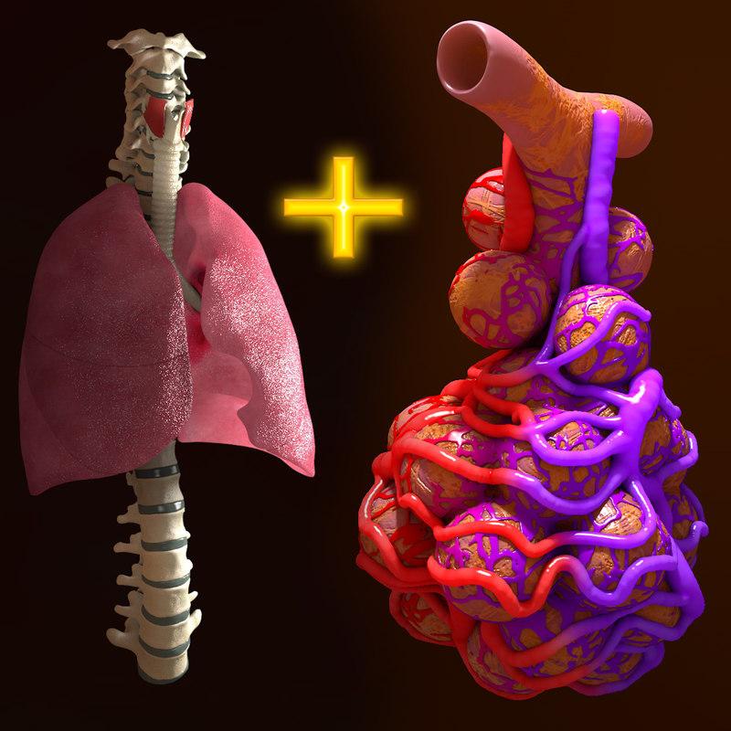 lung spine alveoli human 3d c4d