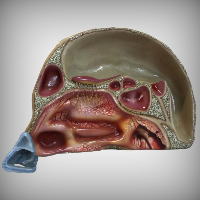 3d Model Nose Anatomy