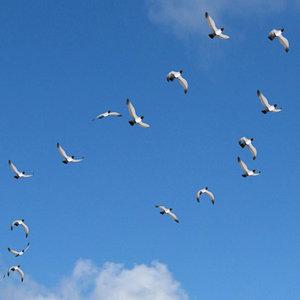 3d flock birds model