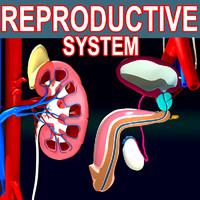 3d max male reproductive