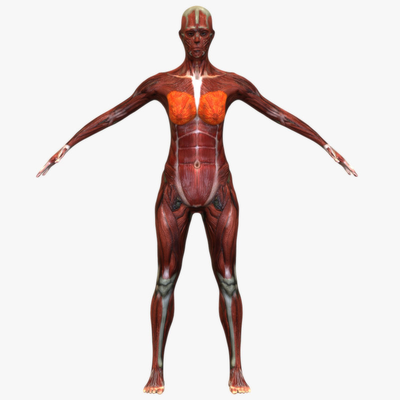 3d model female muscular anatomy