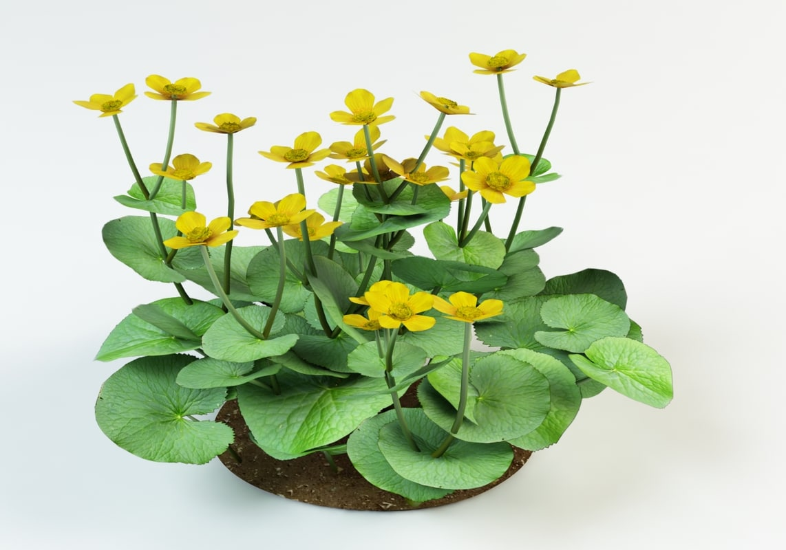 3d model caltha palustris kingcup
