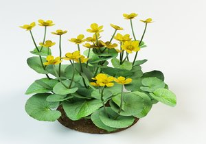 3d model caltha palustris kingcup