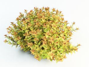 3d spiraea japonica japanese