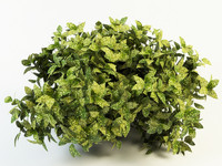 aucuba plant 3d max